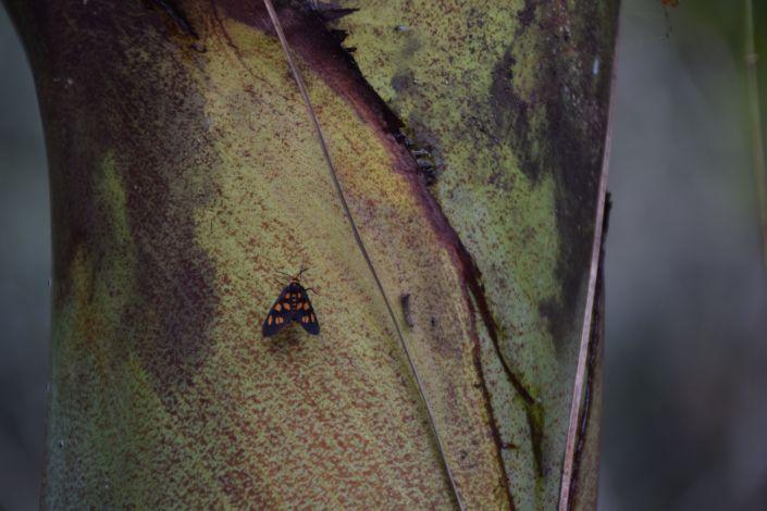 MtTamborineButterfly